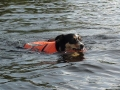 Fergie swiming after geese