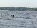 Millie swimming out to geese