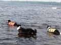 Time to swim after the geese